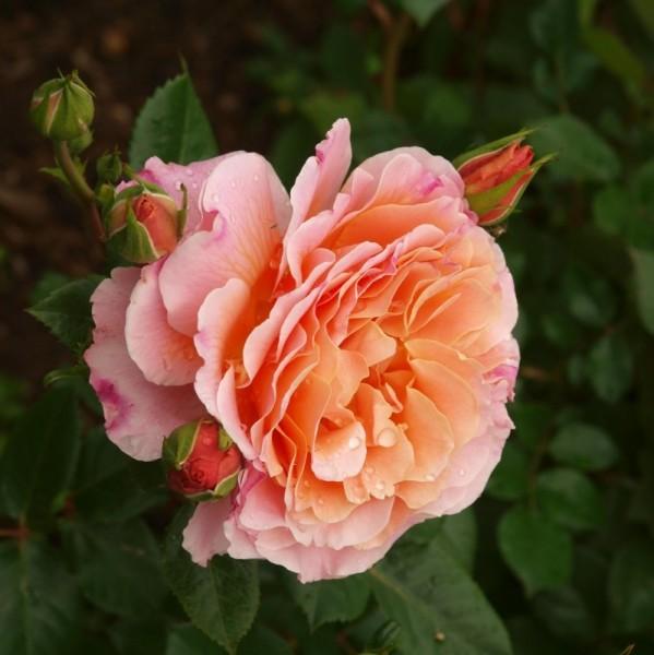 Rose Chateau de Vaumarcus_Hochstamm Rosen_1