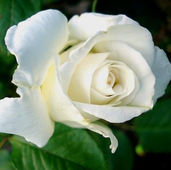 Rose-Annapurna-Maurice-Raybaud-3
