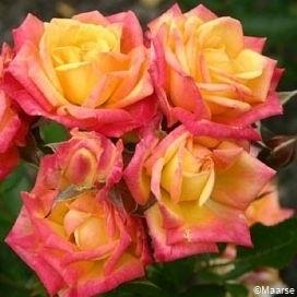 Rose Little Sunset_1