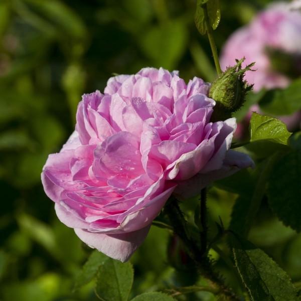 Rose Salet_moos rosen_2