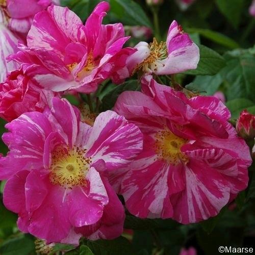 Rosa mundi_gallica versicolor_1