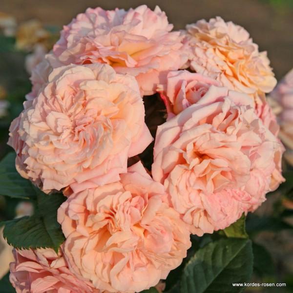 Rose-Amaretto-Bodendeckerrosen-1