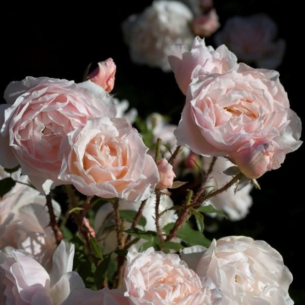 Rose_Clair de Lune_strauchrosen_9