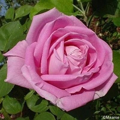 Rose Conrad Ferdinand Meyer_Rosa Rugosa_1