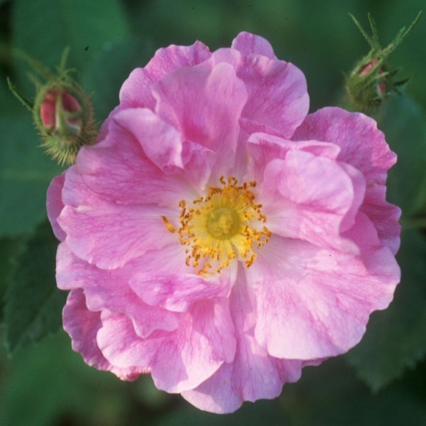 Rose Wolly-Dod_pomifera duplex_2