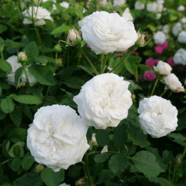 Rose_Mme Plantier_alba rosen_1