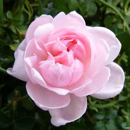 Rose-Eglantyne-Englische-Rosen-1