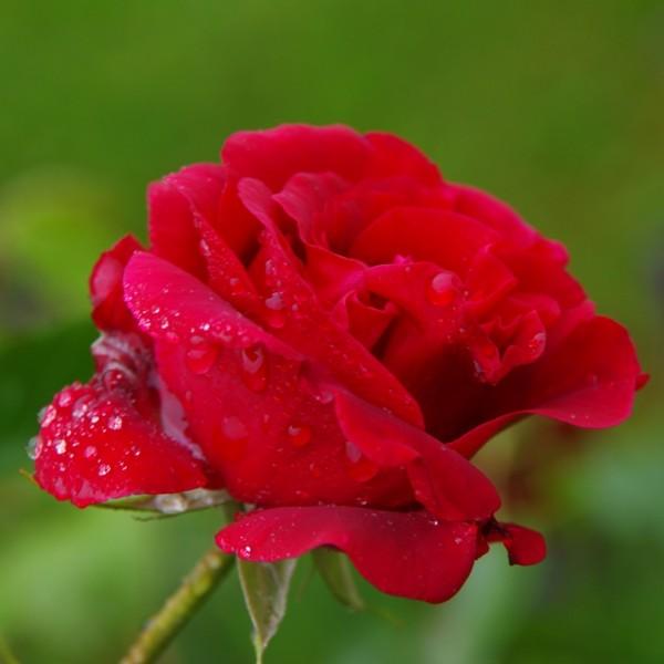 Rose_Roundelay_kletterrosen_1