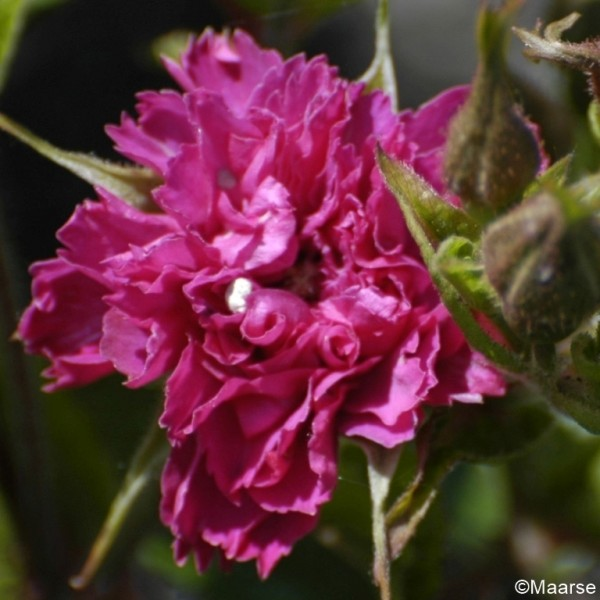 Rose F. J. Grootendorst_Rosa Rugosa_1