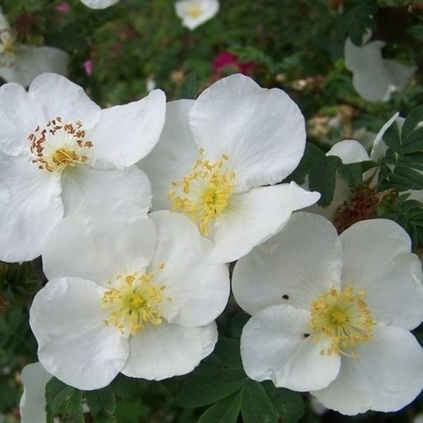 Rosa-omeiensis-Pteracantha-Strauchrosen-1