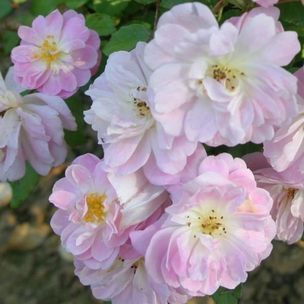 Rose_Dainty Pink_2_strauchrosen