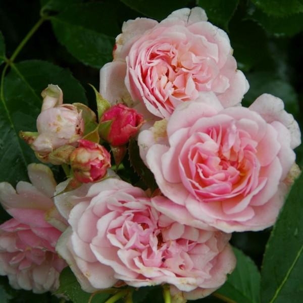 Rose Felicia_Rosa Moschata_2