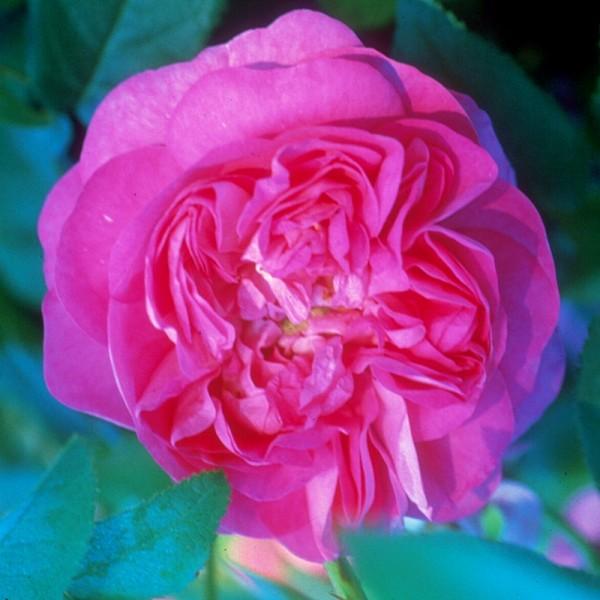 Rose-Mogul-Mysterie-Strauchrosen-3