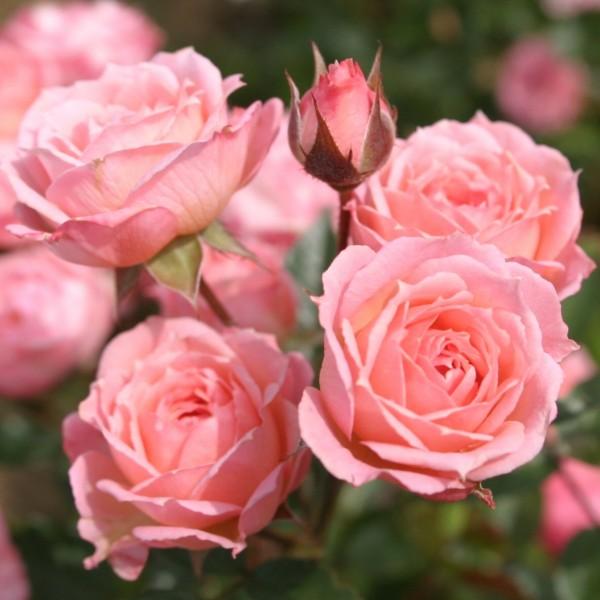 Pink Medaillon / Coquetti