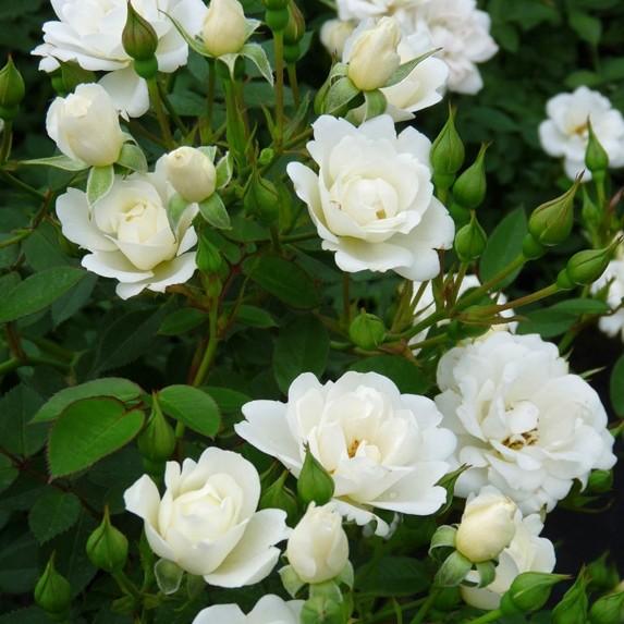 Rose_White Cover_3