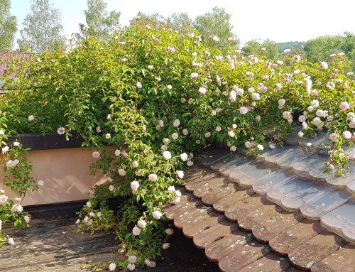 Die Rosen legen los – und wie