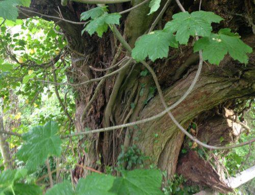 Baum, der aus einem anderen Baum wächst