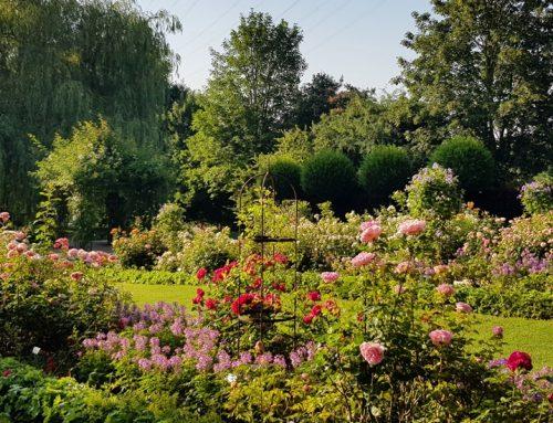 Rosen weiterhin in voller Blüte