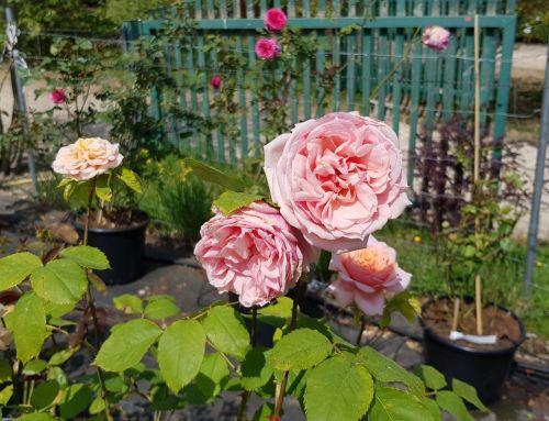 Garten, Laden und Gärtnerei wieder täglich geöffnet von 10 bis 18 Uhr